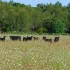 Vaches et veaux en pays