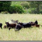 Vaches en pays